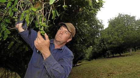 Macadamia farmer Tony Flick examines the new season's nuts.