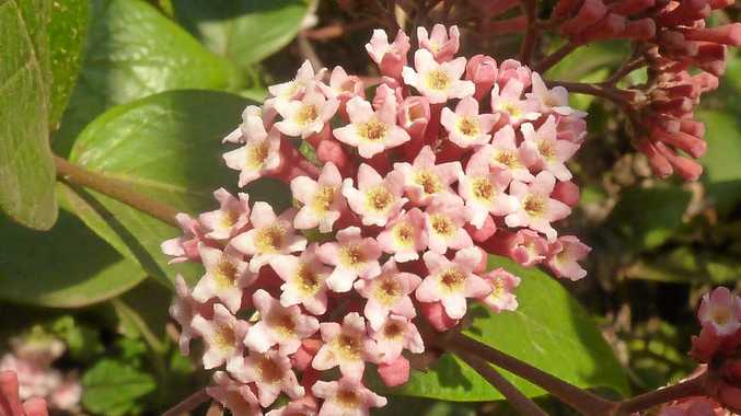 Rondoletia amoena is a very attractive plant, and really easy to grow.
