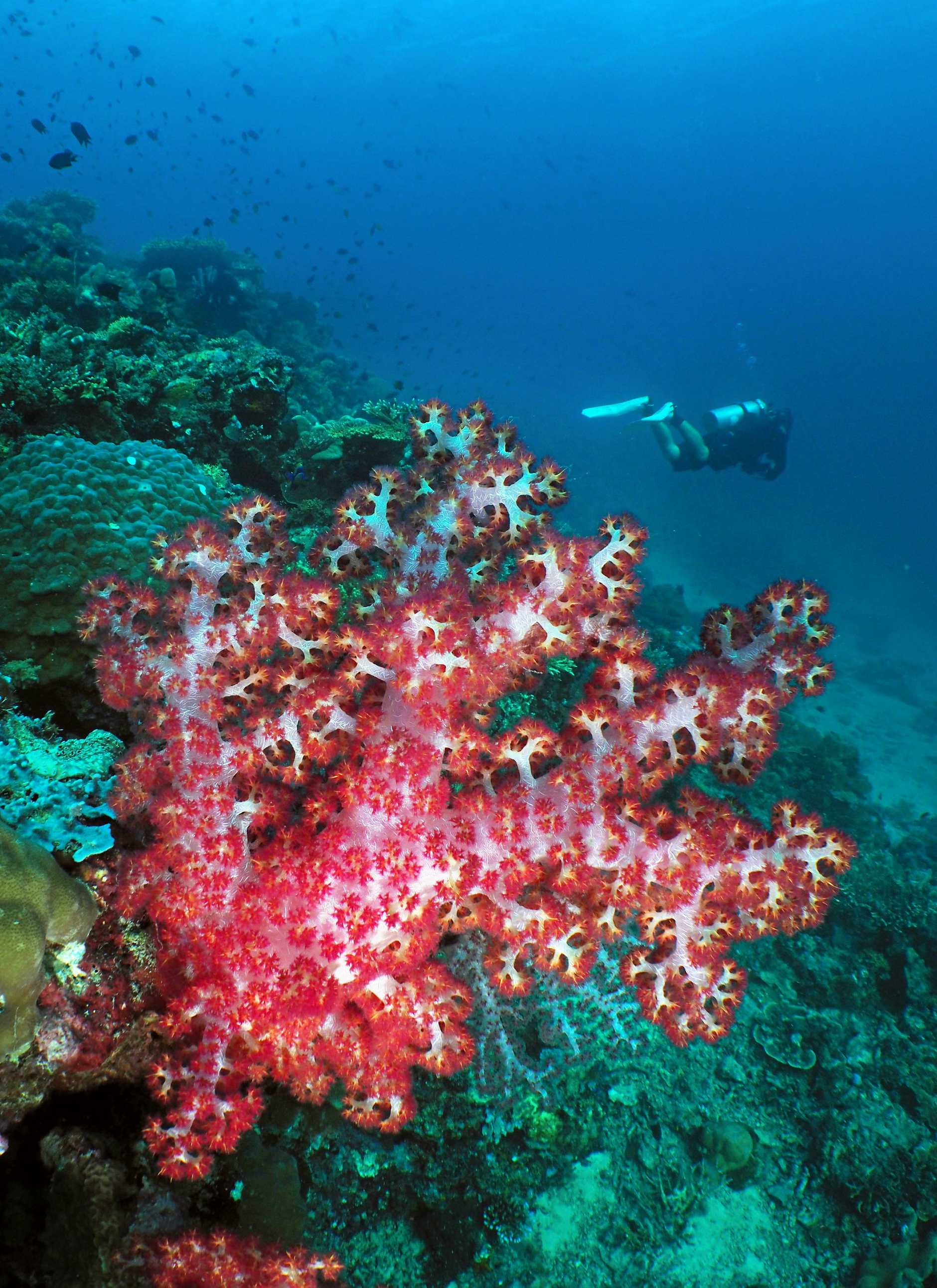 The reefs that lie within Indonesia's Komodo National Park are healthy thanks to their remoteness.