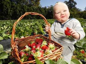 Farmers call for help as strawberry glut strikes