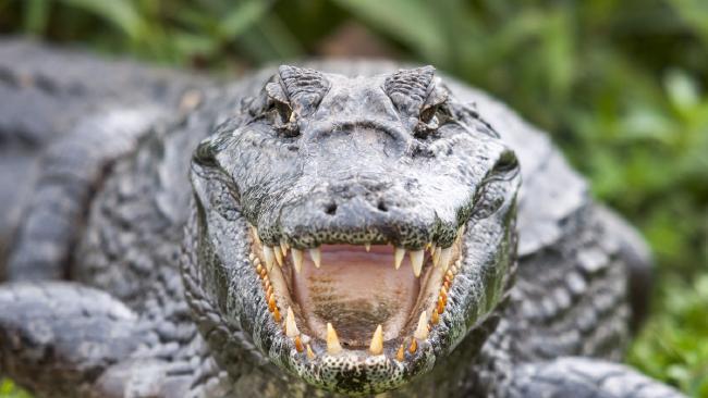 805f4f3fb Terror as huge crocodile attacks fishing boat.