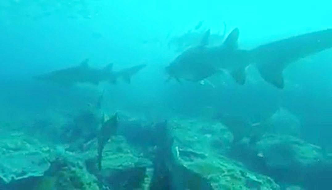 Stunning underwater footage has emerged of at least 10 grey nurse sharks lurking off Mooloolaba.