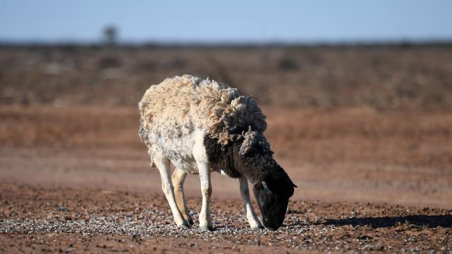 A sheep feeds on cotton seeds on the drought-affected Brigalow Downs property, near Bollon, Queensland. Picture: AAP Image/Dan Peled