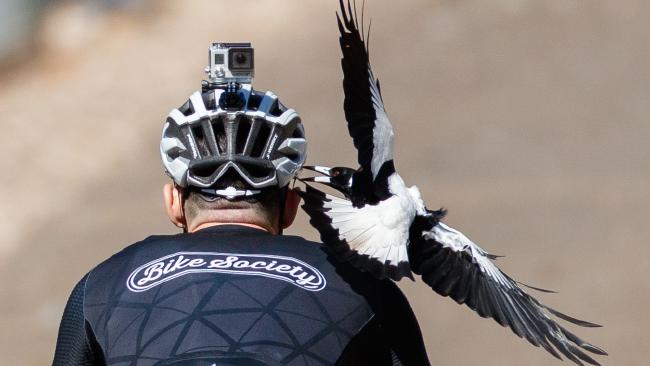 'The Major' magpie is notorious for swooping at walkers and cyclists in the area. Picture: Matt Turner