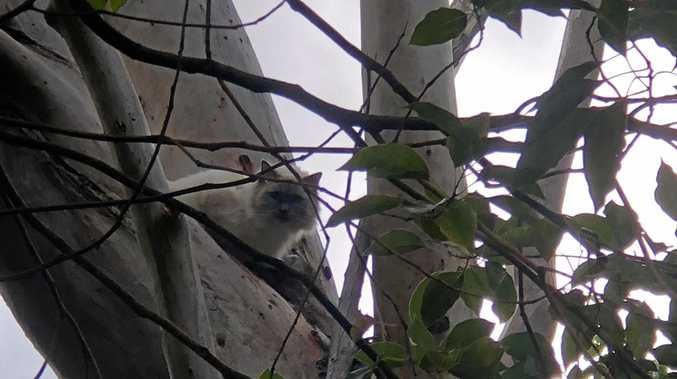 A ragdoll cat, named Patchouli, has been reunited with her owners after missing for a week, presumably stuck in the tree she was found in for the seven days.