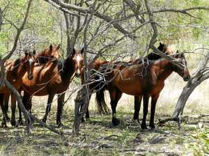 Wild brumby cull on Curtis Island shocks residents