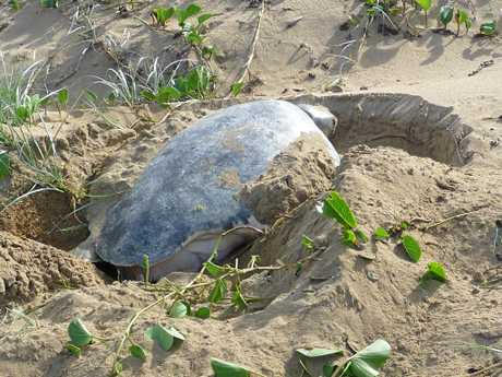 ENDANGERED: One of the reasons cited by the Department of Environment and Science for the wild brumby cull was their effect on the nests of endangered marine turtles.