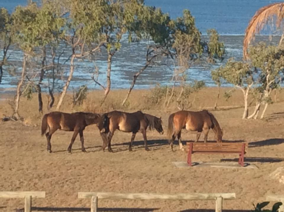 FREE ROAMING: Wild brumbies on Curtis Island as of July 31.