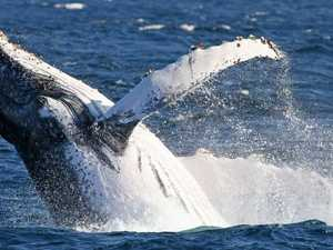 Why whale jumped out of water 137 times in a row