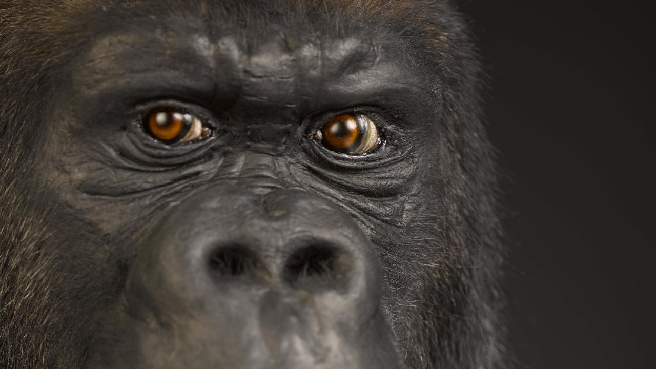 Exactly what shape the original common ancestor to modern humanity and apes had is a mystery. But AI is casting new light on our origins. Picture: National Museum of Scotland
