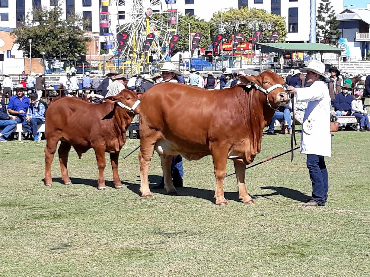 ON PARADE: Toogoolawah High students show cattle at the EKKA.