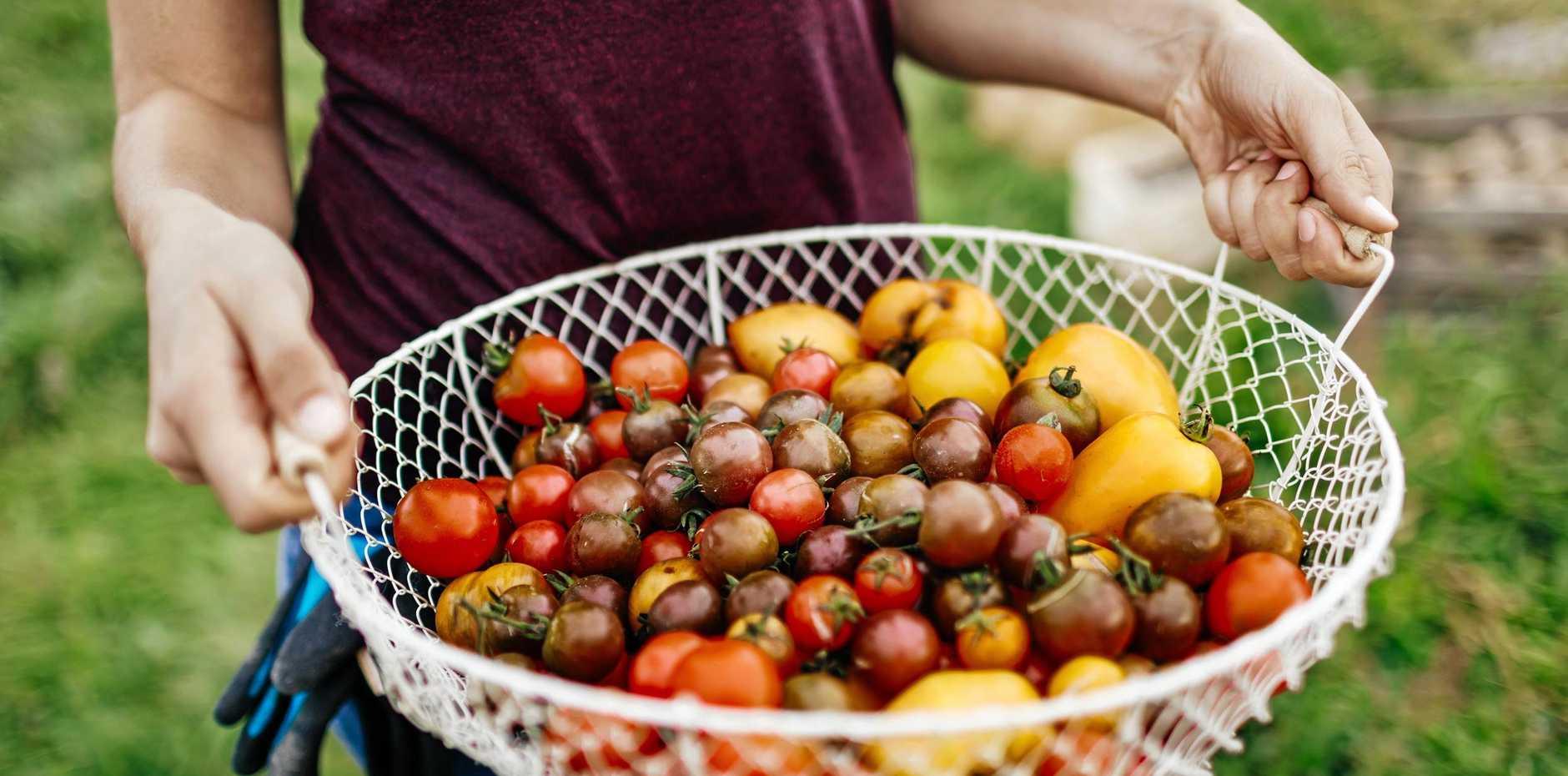 Freshly harvested heirloom tomatoes make a tasty treat.