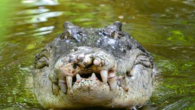 Push for crocodile cull in NQ.