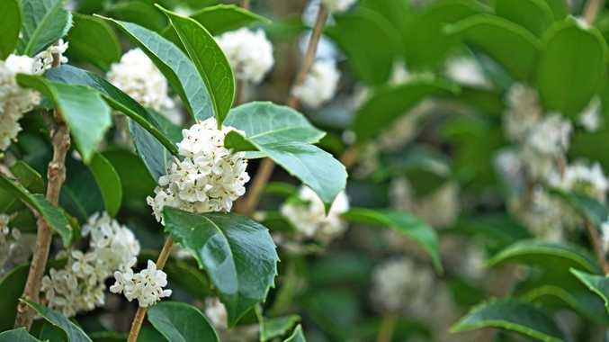 Osmanthus fragrans.