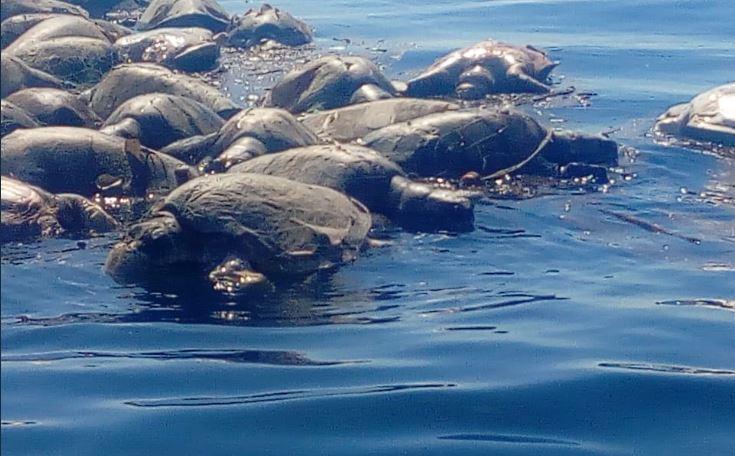 At least 300 endangered sea turtles dead in ocean off Mexico's coastline. Source: Twitter