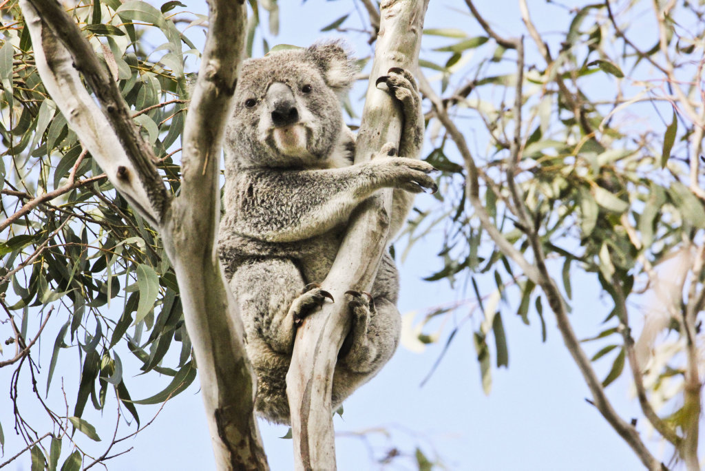 A koala named Malcolm found in the proposed housing estate at the rifle range. Thursday, 3oth Aug, 2018.