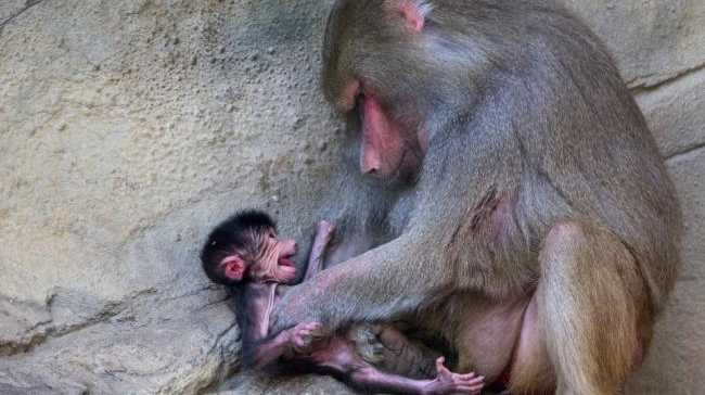 The baby Hamadrays Baboon was born in the early hours of August 25 to third-time parents Chappi and Horus.