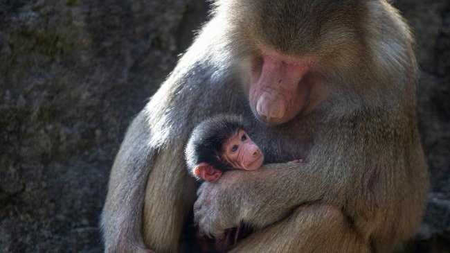 Hamadryas baboon Chappi with her newborn baby, which arrived in the early hours on Saturday. Picture: Adrian Mann