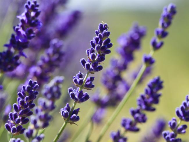 Foster will scatter her mother's ashes in her new lavender garden this spring.