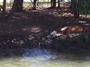 Dead cows along riverbank
