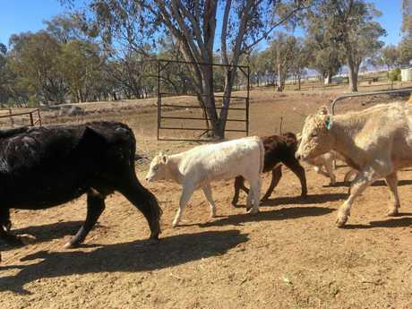 A Tamworth farmer is hoping to send her cattle to Tweed in a bid to save her farm.