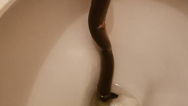 Edge Hill woman calls Cairns Snake Removals after spotting this water python in her toilet.