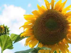 Should Toowoomba's 'big thing' be a sunflower?
