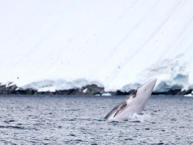 Chris Johnson captured this image of an Antarctic minke whale.