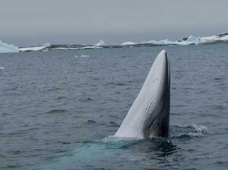 WWF is working in collaboration with international whale researchers to better understand whales in the Southern Ocean.