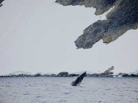 An Antarctic minke whale breaches off the Antarctic Peninsula.
