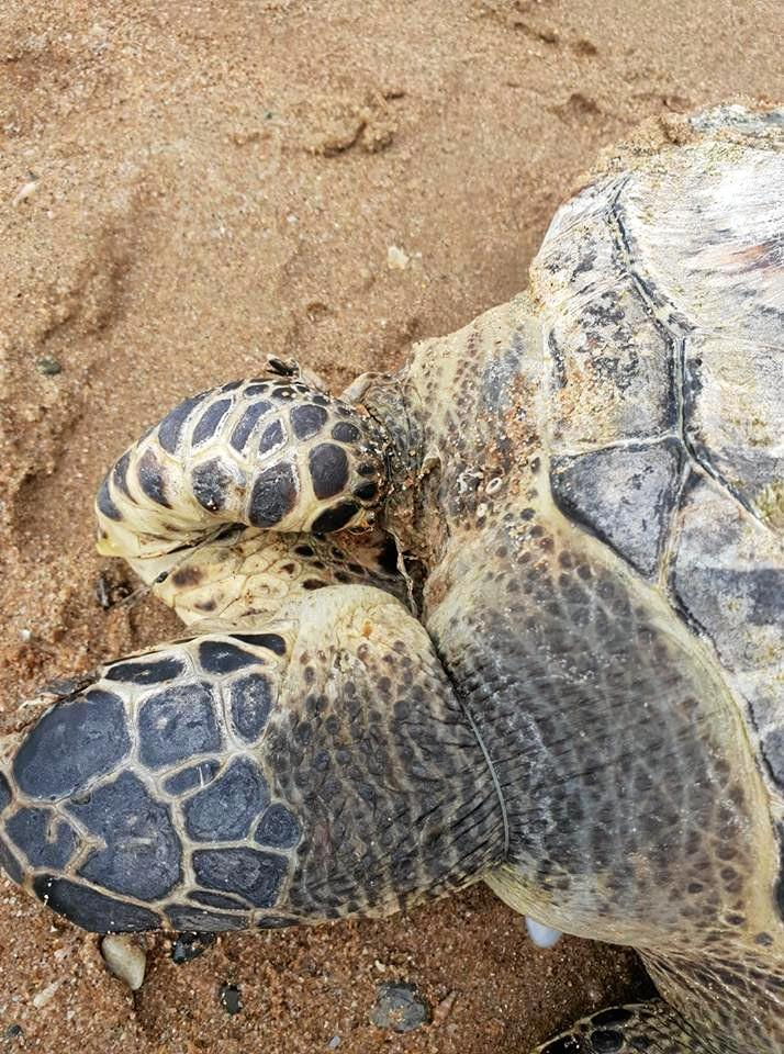 A young sea turtle was found washed up on a beach with fishing line wrapped around its neck and flippers.