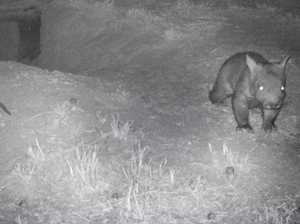 WATCH: Endangered wombat joey emerges from burrow