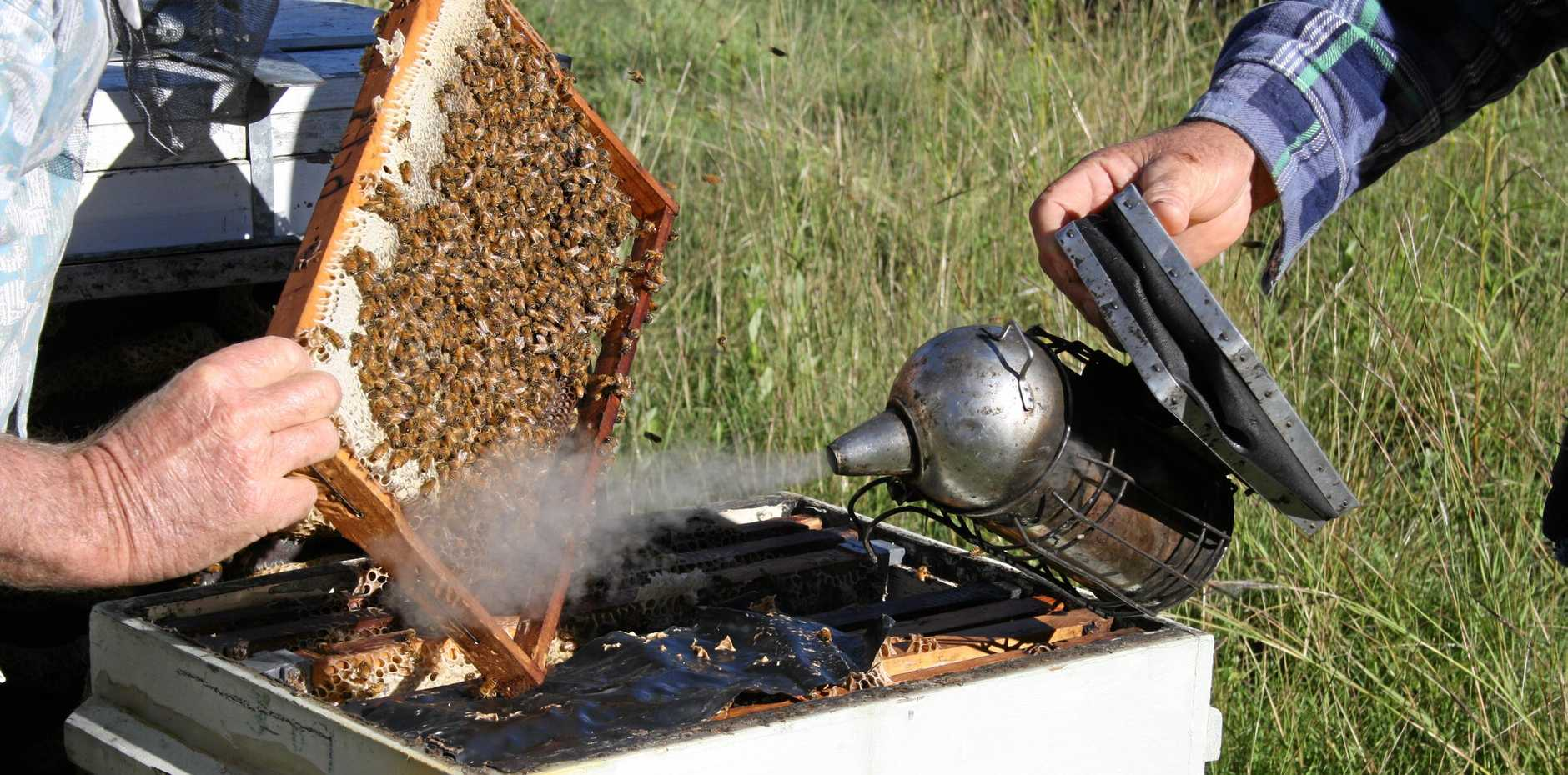 LIQUID GOLD: Along with producing quality honey bees play an important part in agriculture.  Photo Tom Threadingham / Gatton Star