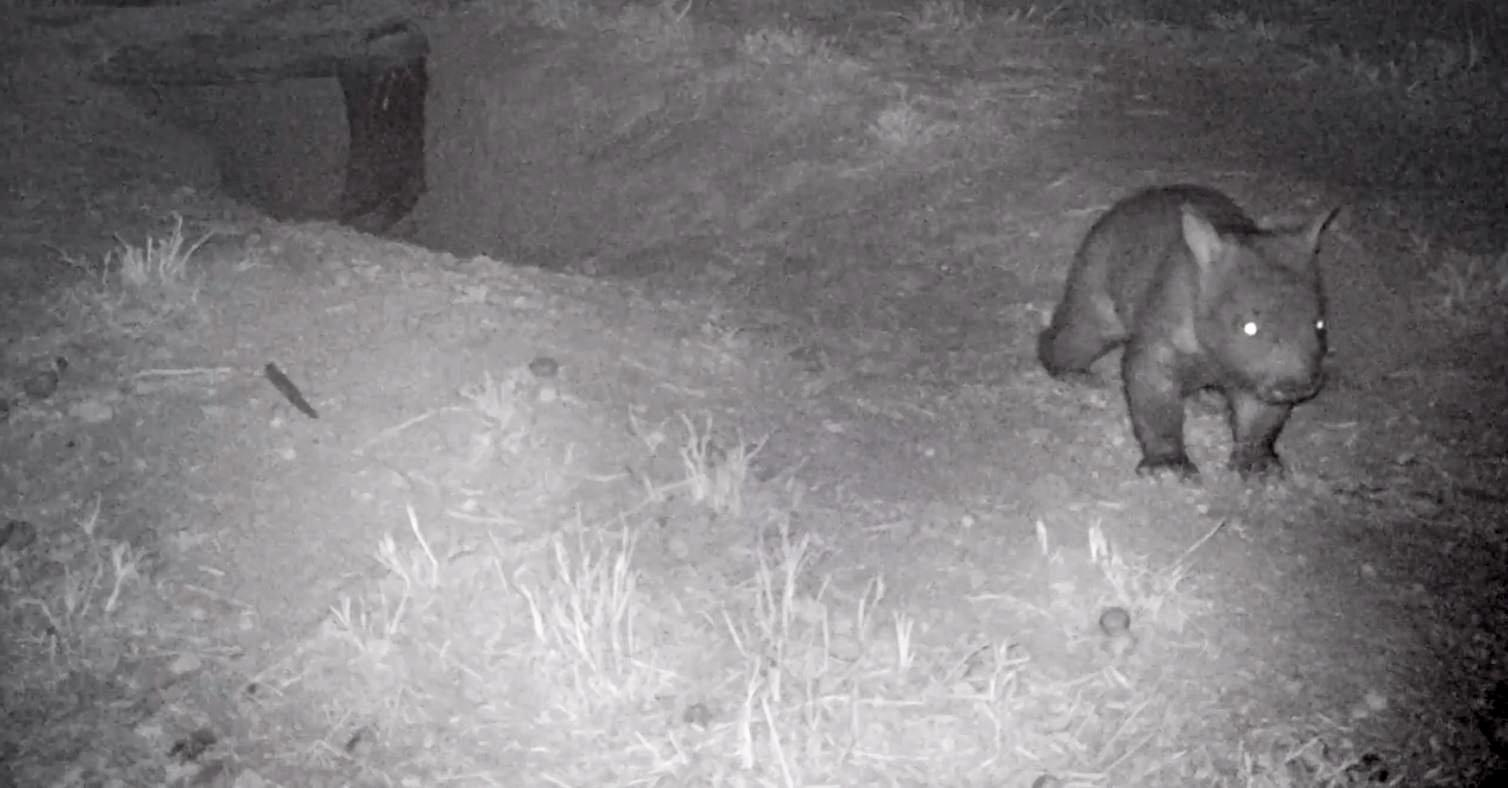 The new northern hairy-nosed wombat was captured on a night-vision camera at Richard Underwood Nature Reserve near St George.