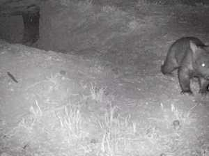 St George welcomes new wombat joey