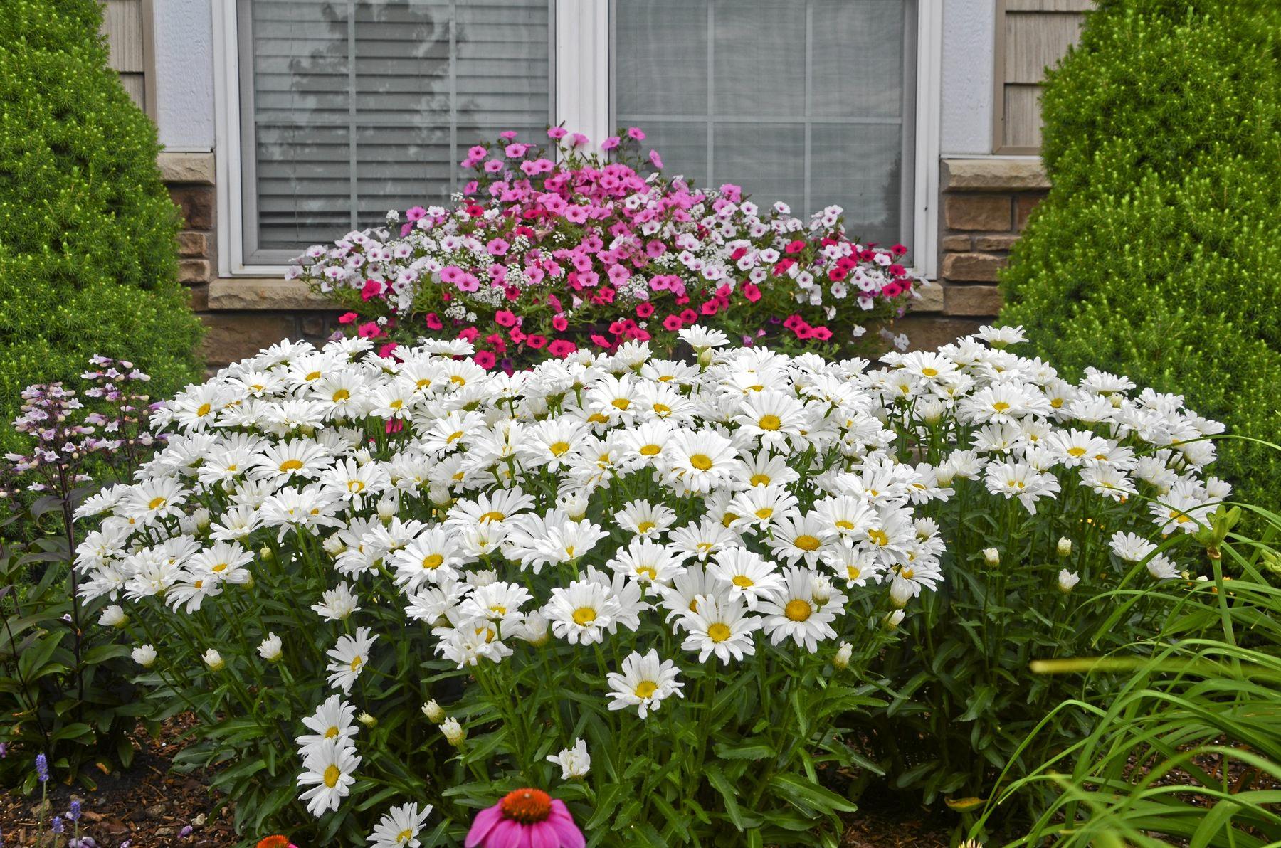 Leucanthemum daisy.