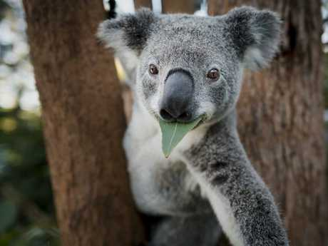 The koala is designated as vulnerable to extinction under commonwealth and state law. Picture: WWF-Australia