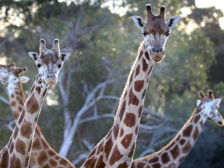 Giraffes can grow up to six metres tall. Picture: David Caird