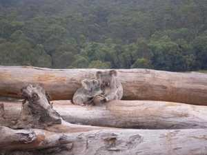 Heartbreaking photo shows koala plight