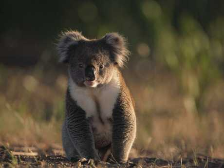 The Moree-Collarenebri region is already extensively cleared with only 6 per cent of the study area having forest remaining, while 11 per cent is sparse woodlands. Picture: WWF-Australia