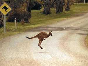 Australian marsupial causes vehicle roll, injuring CQ driver