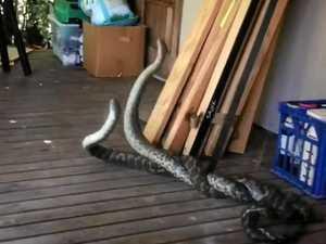VIDEO: Two 8-foot pythons in battle on Finch Hatton veranda