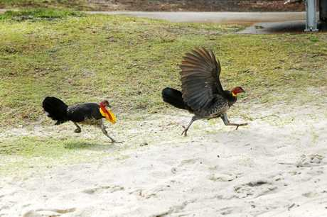 Bush turkeys at Greenmount Hill.