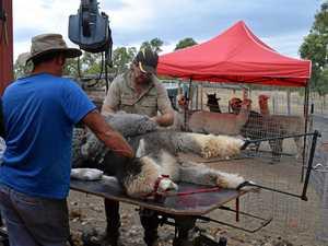 Shearing time at Rosemark