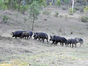 Council cracks down on feral pig problem