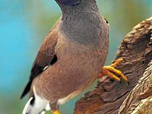 Pest bird could have devastating impact on Mackay birdlife