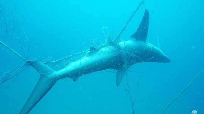 When diving in Lennox Head Sea Shepherd divers found a 1.5m Dusky Whaler shark, not long dead in the net. (Photo: Sea Shepherd Australia).