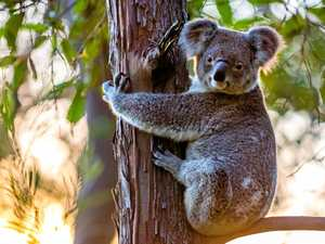 43,000 reasons why koalas could be safer in Gympie