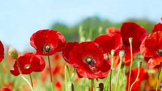 Gympie Regional Council's Red for Remembrance 1918-2018 (We Will Not Forget) event is an opportunity to do our bit as a region in remembering the sacrifices of current and past servicemen and women.