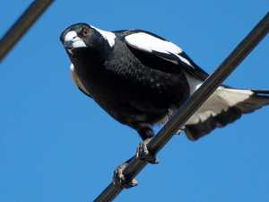 Long arm of the law extends to magpies as well